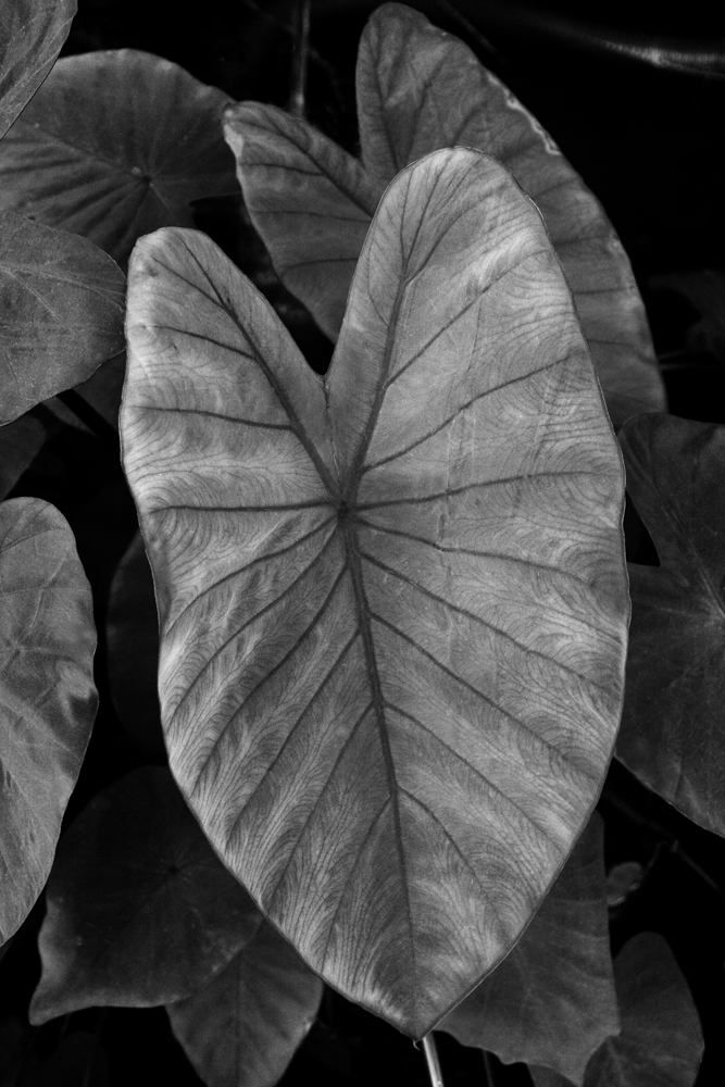Caladium, from Form: Defining Line by Jeanne McRight