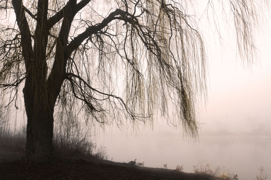 500px / Weeping willow with misty lake by Jeanne McRight