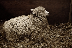 Sheep with long fleece resting in its stall's straw bedding.