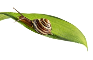 Brown snail on green leaf.